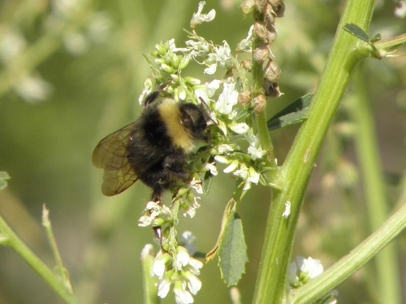 Picture of White-tailed bumble bee