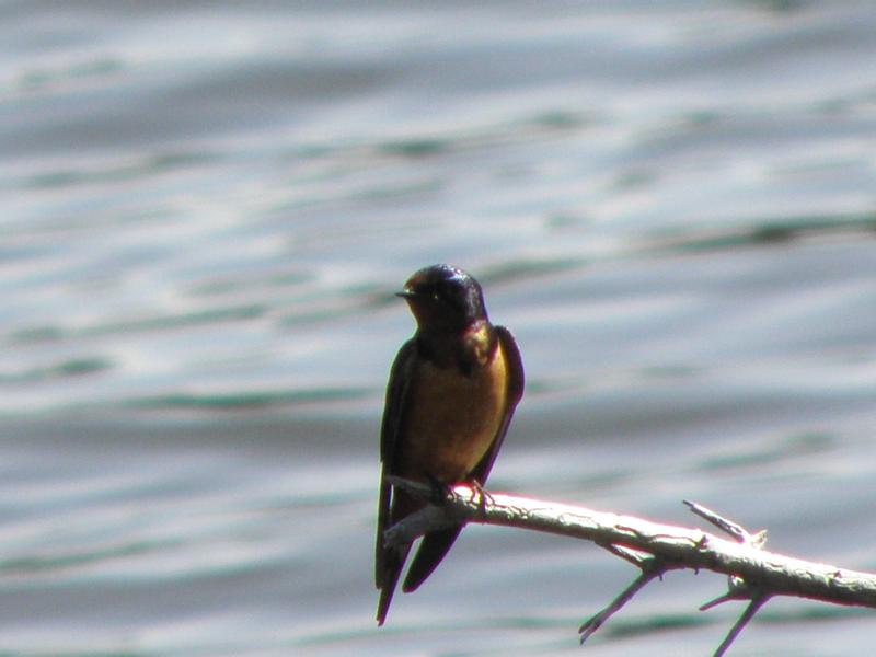 Picture of Barn swallow