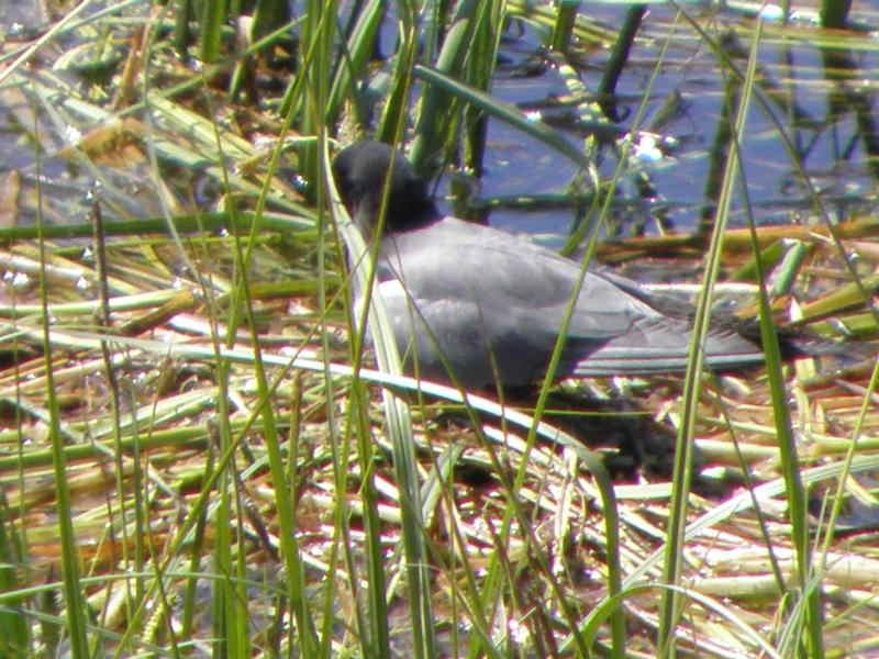 Picture of Black tern