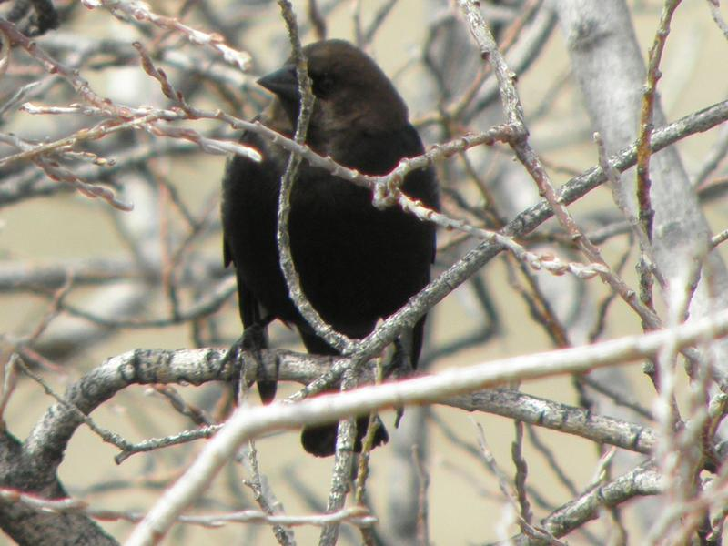Picture of Brown-headed cowbird