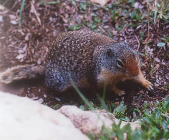 Picture of Columbian ground squirrel