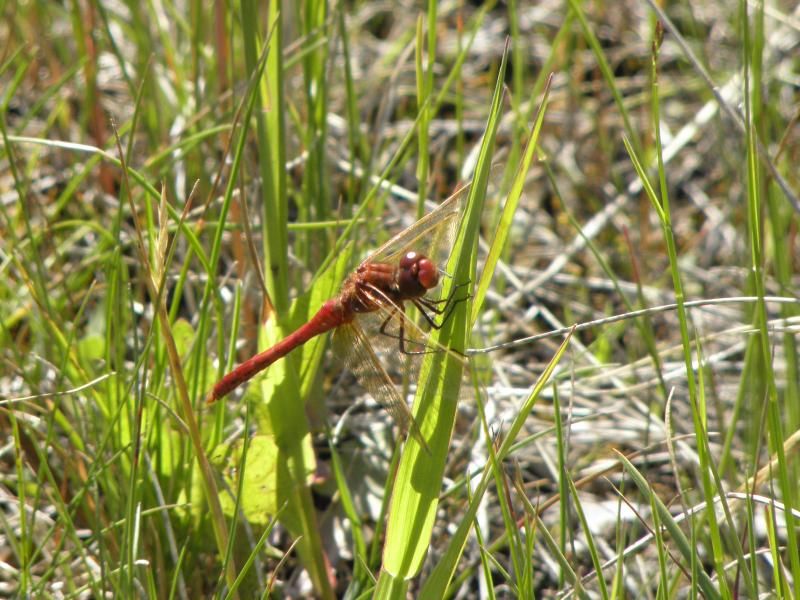 Picture of Cherry-faced meadowhawk