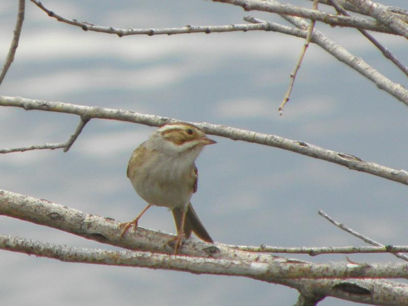 Picture of Clay-colored sparrow
