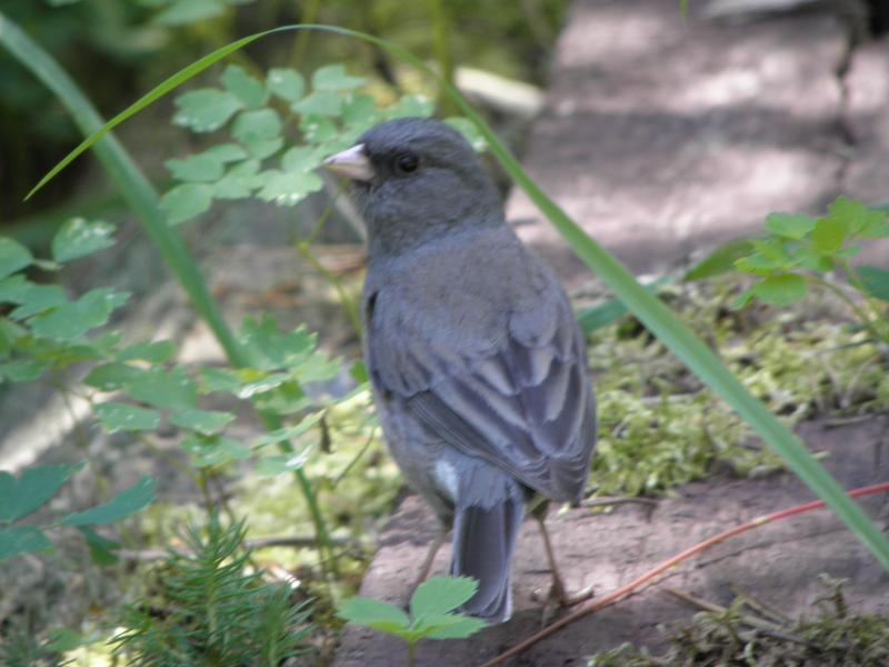 Picture of Dark-eyed junco