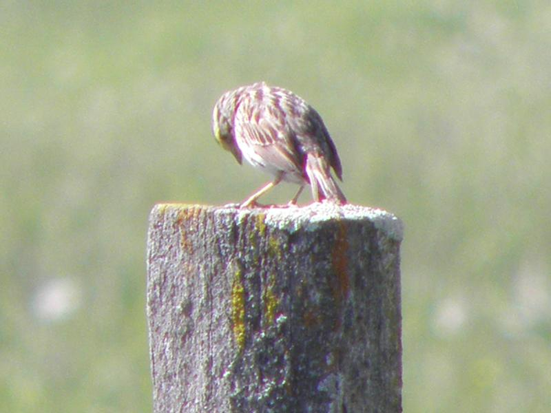 Picture of Grasshopper sparrow