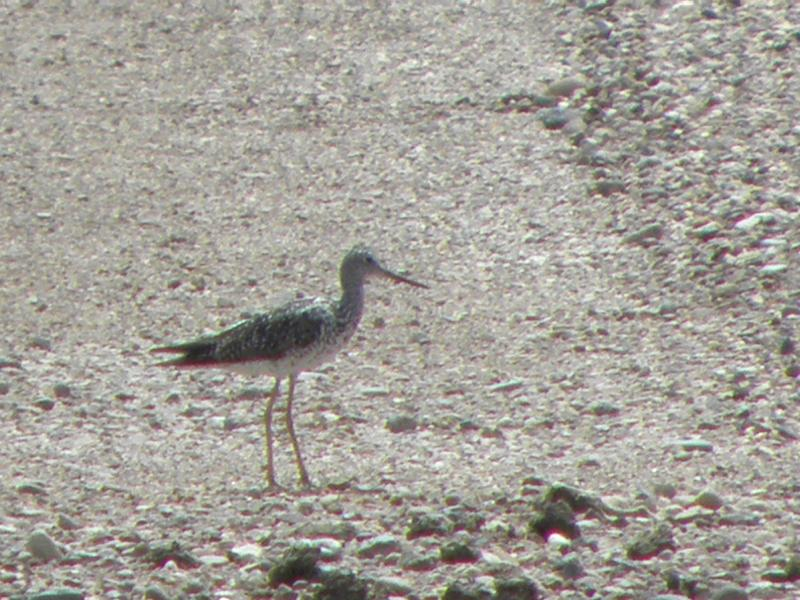 Picture of Greater yellowlegs