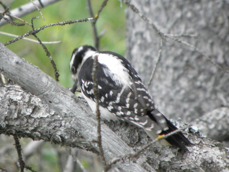 Picture of Hairy woodpecker
