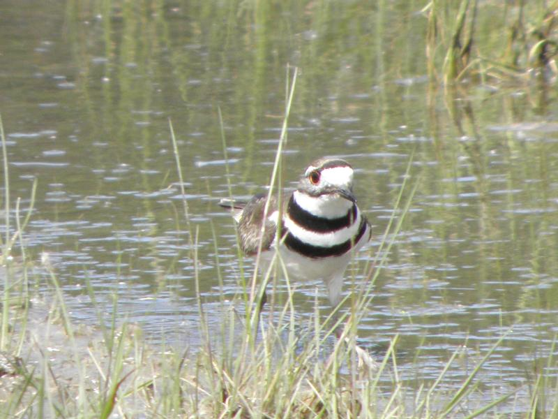 Picture of Killdeer
