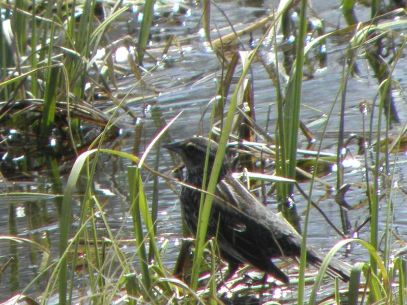 Picture of Northern waterthrush