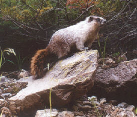 Picture of Hoary marmot