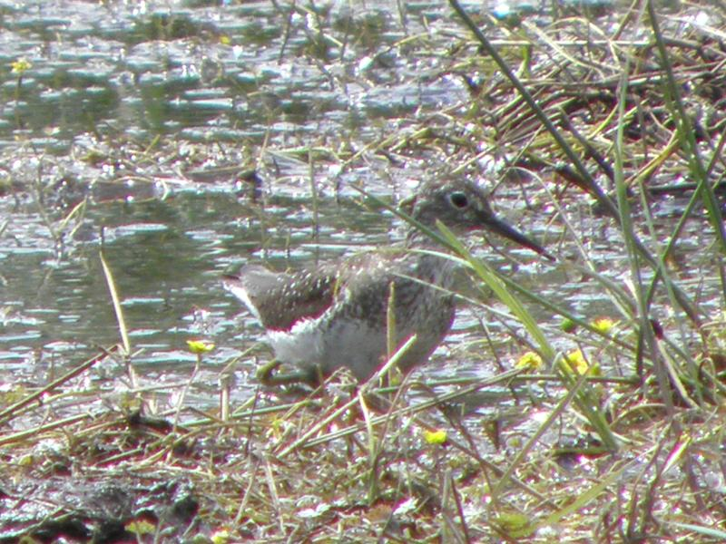 Picture of Solitary sandpiper