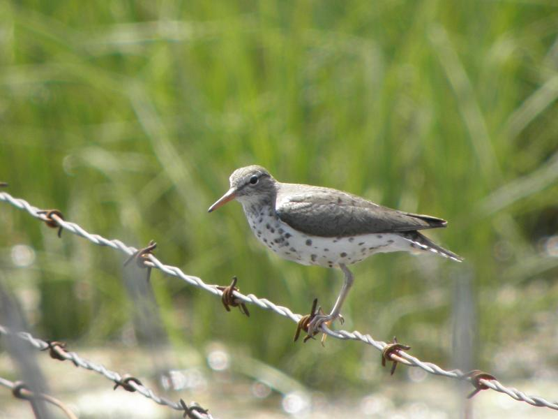 Picture of Spotted sandpiper