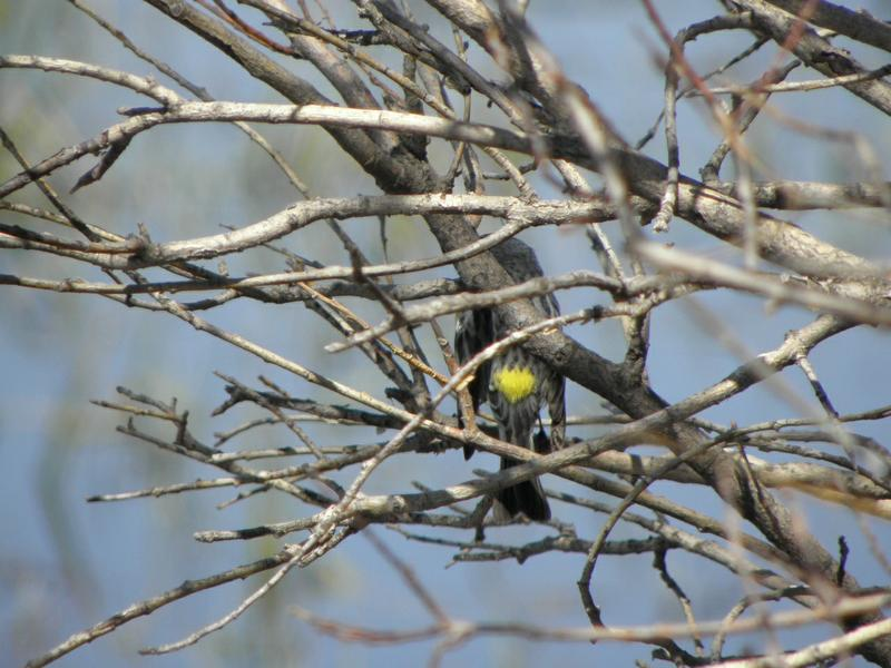 Picture of Yellow-rumped warbler