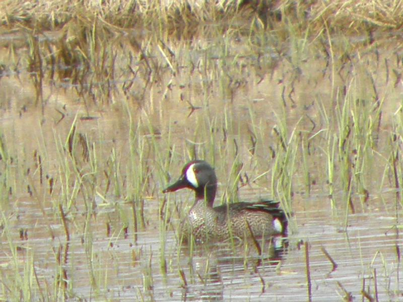 Picture of Blue-winged teal