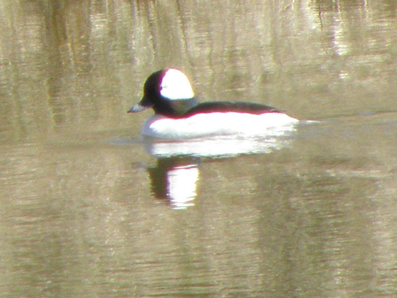 Picture of Bufflehead