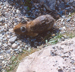 Picture of Pika