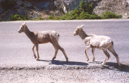Picture of Bighorn sheep