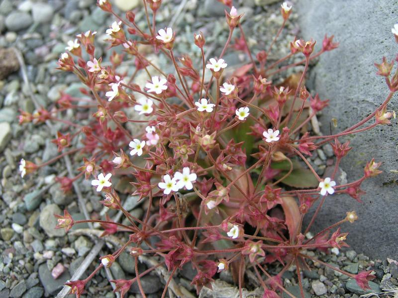 Picture of Androsace septentrionalis