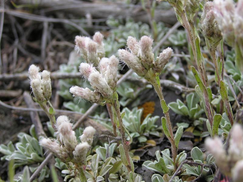 Picture of Antennaria umbrinella