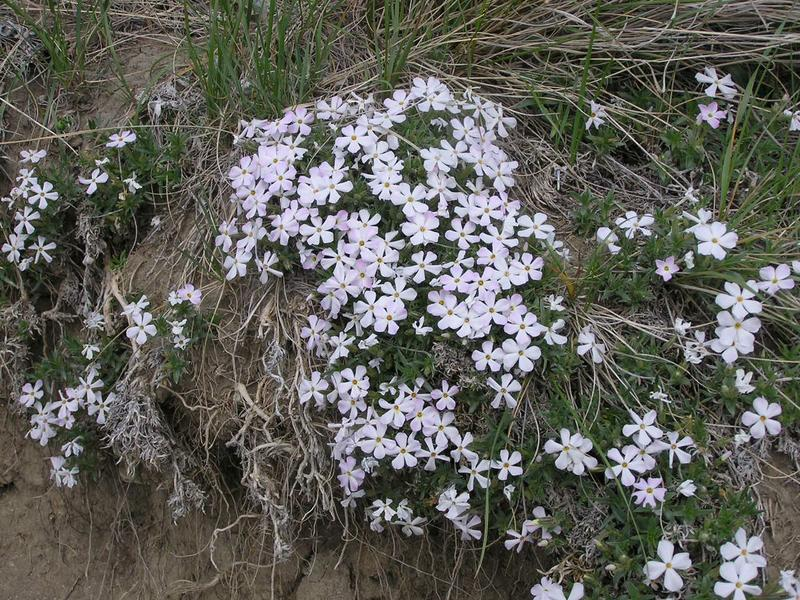 Picture of Phlox alyssifolia