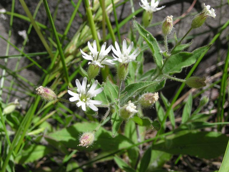 Picture of Silene menziesii