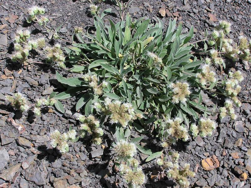 Picture of Phacelia hastata