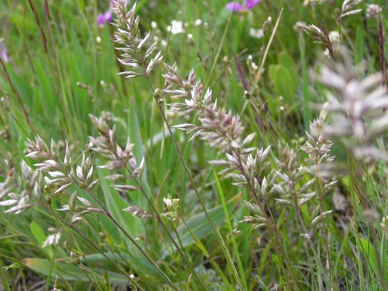 Picture of Poa alpina