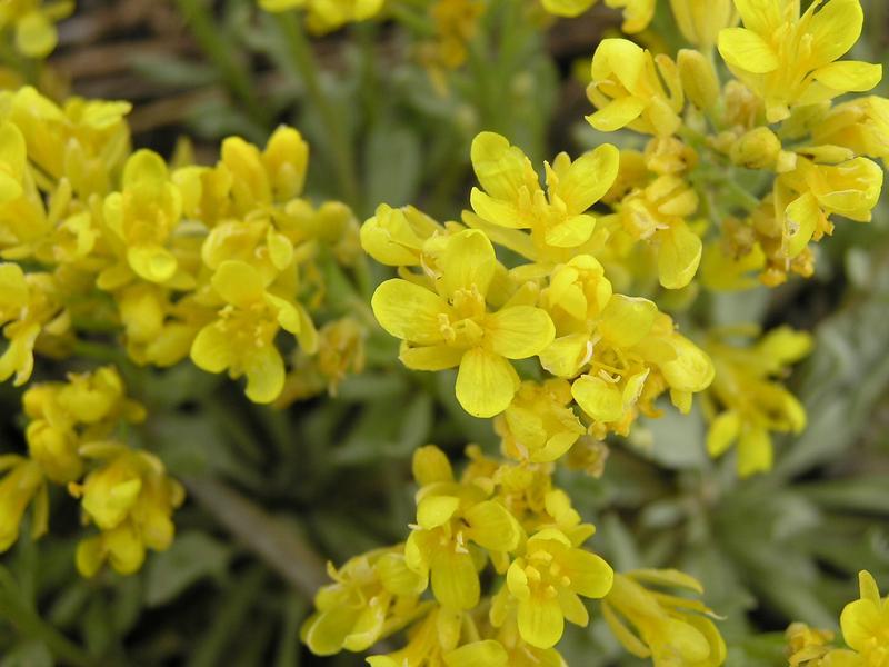 Picture of Lesquerella alpina
