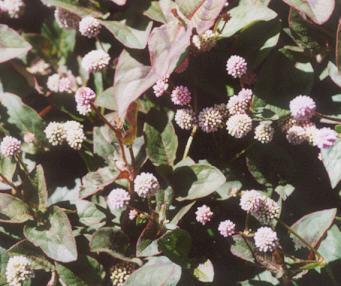 Picture of Persicaria capitata