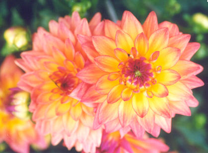 Picture of Dahlia hybrid