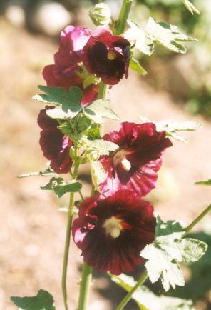 Picture of Alcea rosea