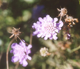 Picture of Scabiosa caucasica