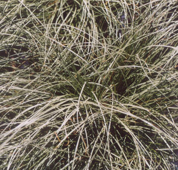 Picture of Carex albula