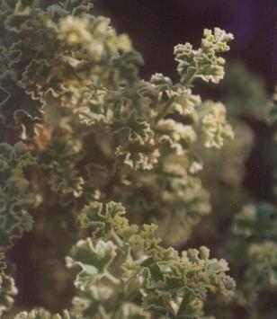 Picture of Pelargonium crispum
