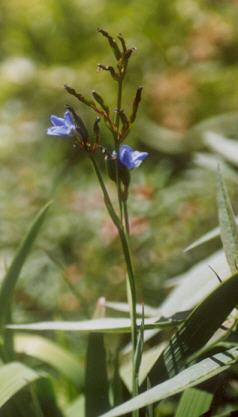 Picture of Aristea ecklonii