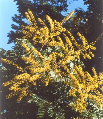 Picture of Koelreuteria bipinnata