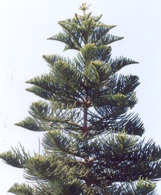 Picture of Araucaria heterophylla