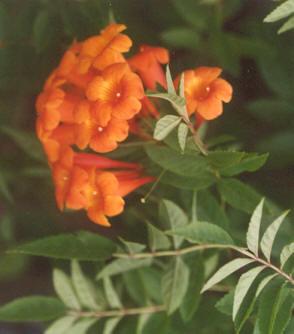 Picture of Tecoma garrocha
