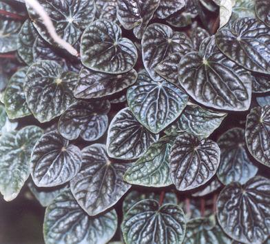 Picture of Peperomia caperata