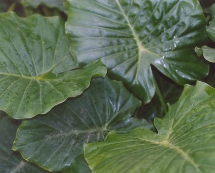 Picture of Alocasia gageana