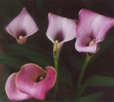 Picture of Zantedeschia hybrid