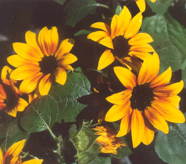 Picture of Helianthus