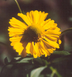 Picture of Helenium