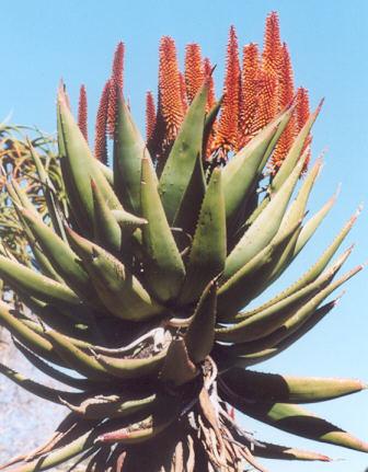 Picture of Aloe tarax
