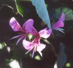 Picture of Pelargonium tomentosum