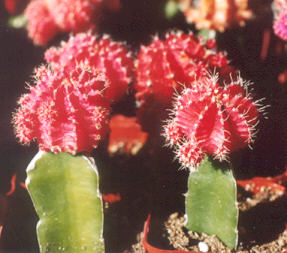 Picture of Gymnocalycium (grafted)