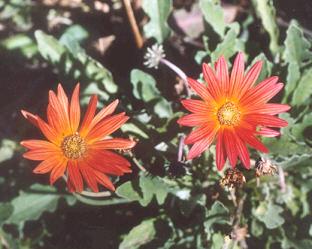 Picture of Arctotis venidioides