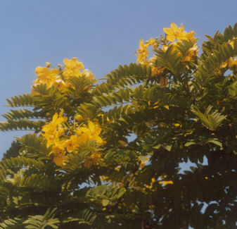 Picture of Cassia leptophylla