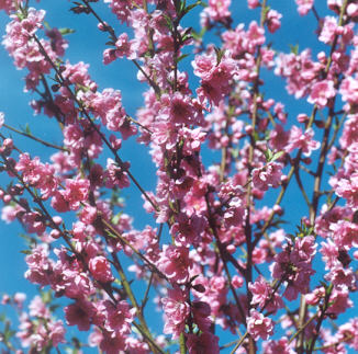 Picture of Prunus persica