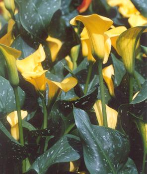Picture of Zantedeschia pentlandii x elliottiana